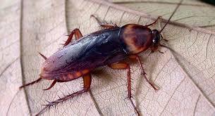Няколко интересни факти за хлебарките